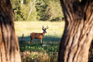 Deer through trees, young buck in a meadow, 320 Solitude, Pagosa Springs, Colorado